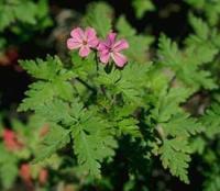 Герань (Geranium robertianum)