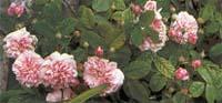 'Kazanlink', считается самым душистым сортом среди Дамасских роз