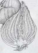 Пленчатая луковица