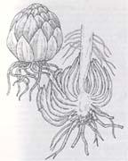 Чешуйчатая луковица