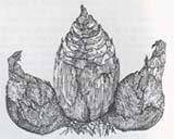 Материнская луковица в окружении дочерних