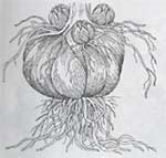 Дочерние луковицы лилий (располагаются над поверхностью почвы)