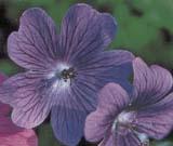 G. ibericum platypelatum