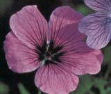 G. armenum