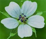 G. albiflorum
