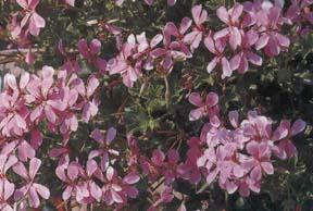Плющевидная пеларгония с простыми цветками