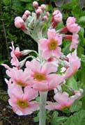 Primula japonica, ярусовидная