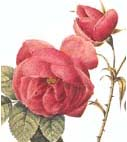 Rosa Bourbon