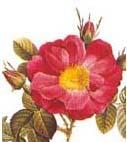 R. damascena