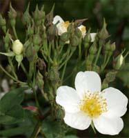 R. moschata