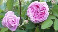 Rose des Peintres - роза художников