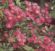 Robin Hood, огромные букеты цветков среднего размера