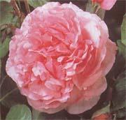 Ives Piaget, современный гибрид, цветок имеет 13 см. в диаметре