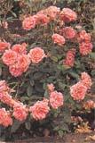 Невысокие кустики карликовых роз