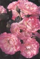 Полиантовая роза - мелкие, но многочисленные цветочки